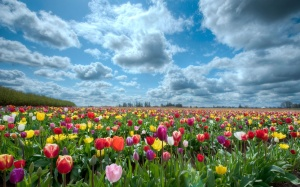 tulips_field-2560x1600